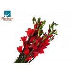 Gladiola roja